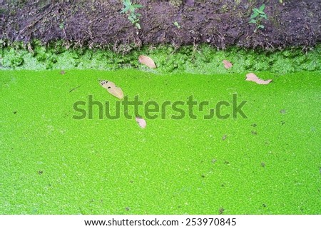 Small tree that grows on the surface. Light green Floating on the surface Group More common in tropical countries .Mosquito fern in the river,Water fern  - stock photo