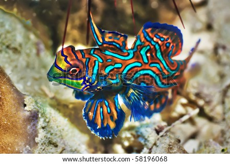 Small tropical fish Mandarinfish close-up. Sipadan. Celebes sea - stock photo