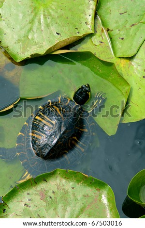 small turtle in water between big green leaves - stock photo