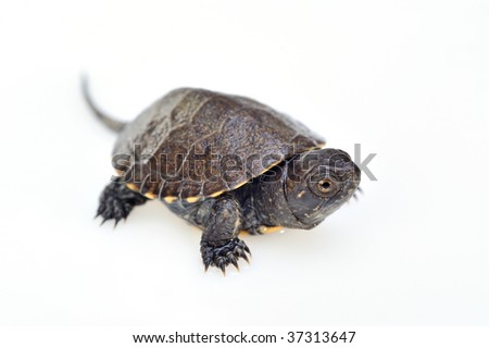 small turtle isolated on white background