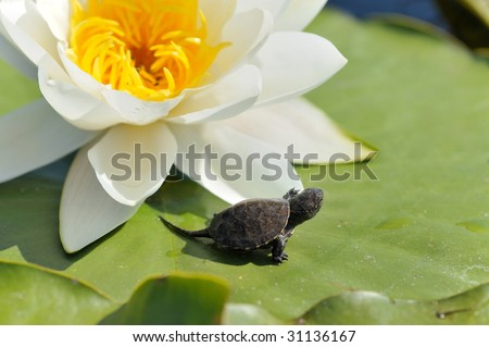 small turtle on water lily leaf (Nymphaea alba)