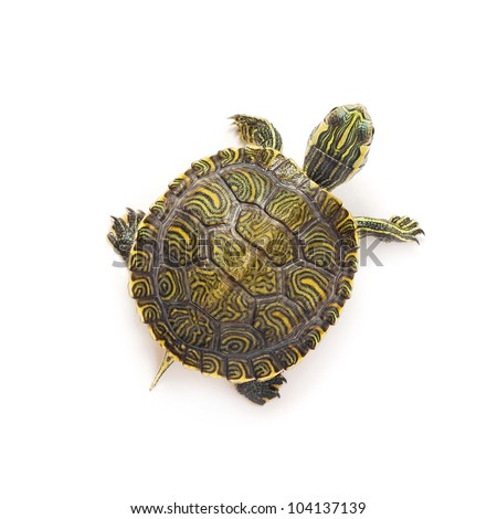 small turtle on white background - stock photo