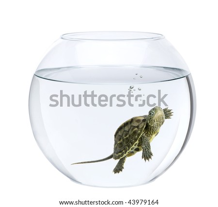 Small turtle swimming in fish bowl, in front of white background - stock photo
