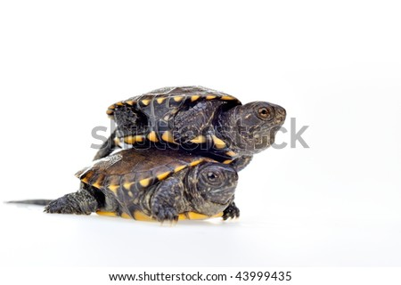 small turtles isolated on white background