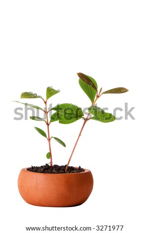 Small vase and plant with water drops over white background