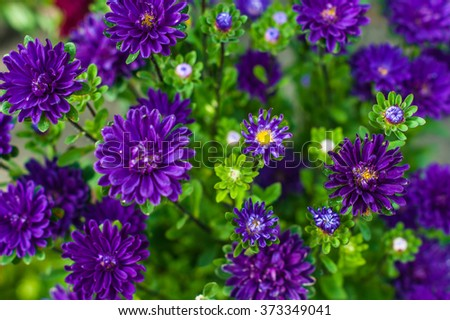 Small violet asters in the park. Selective focus - stock photo