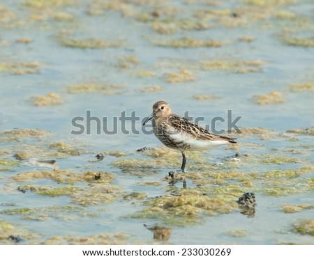Small wading or shorebird Dunlin - stock photo