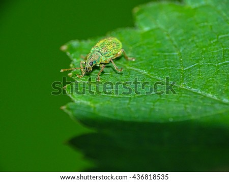 Small weevil standing on leaf