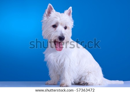 small westie with mouth open on a blue background - stock photo