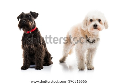 Small white and black dogs