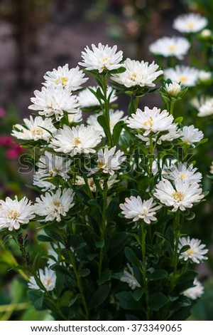 Small white asters in the park. Selective focus - stock photo