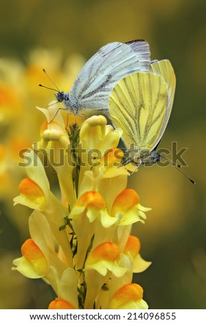 Small white butterflies on Flowering Common Toadflax, (Linaria vulgaris) - stock photo