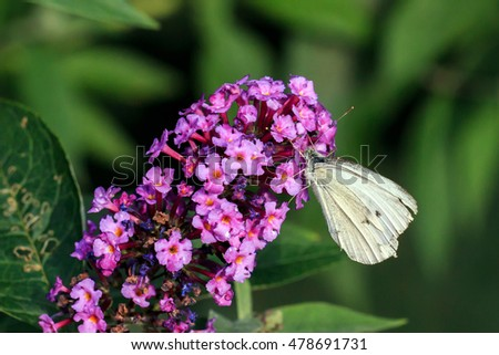Small White Butterfly feeding on a purple Buddleia