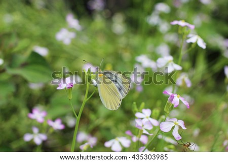 small white butterfly on radish flower