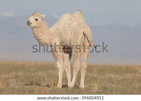 Small white camel in the Asian desert - stock photo