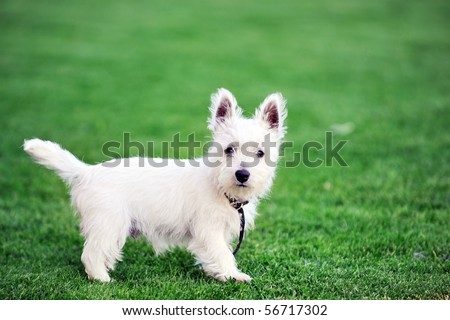small white dog plays  on green lawn