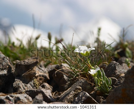Small white flower in front of snowy mountains - stock photo