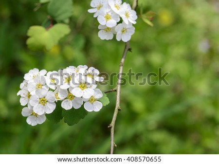 small   white   flower of  spiraea blooming - stock photo