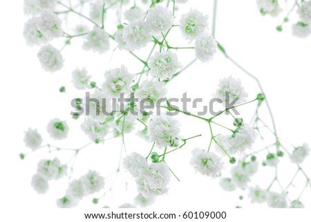 small white flowers isolated on white - stock photo