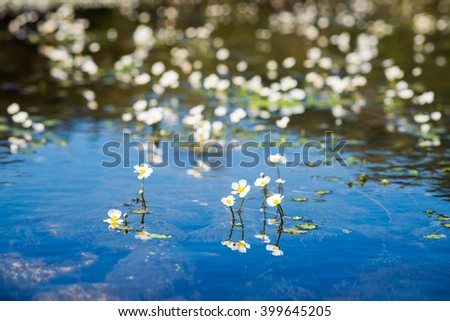 Small white flowers of the underwater plant