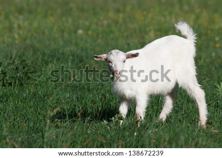 Small white goat on green meadow