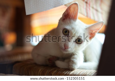 small white kitten on chair
