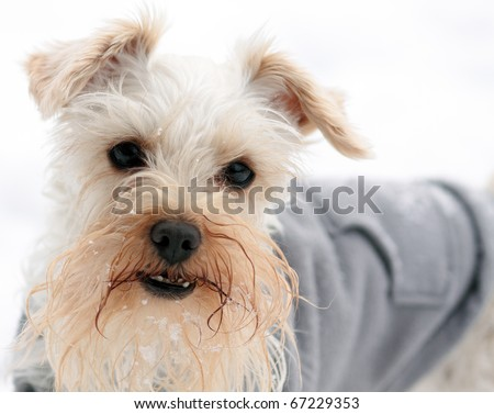 Small white miniature schnauzer in snowy weather wearing gray sweatshirt
