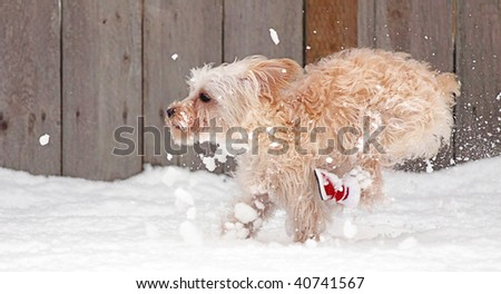 Small white miniature schnauzer puppy running at top speed through the snow in winter with red boots - stock photo