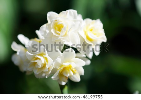 Small white narcissus close up - stock photo