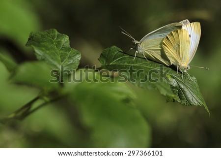 Small White, Pieris rapae  - stock photo