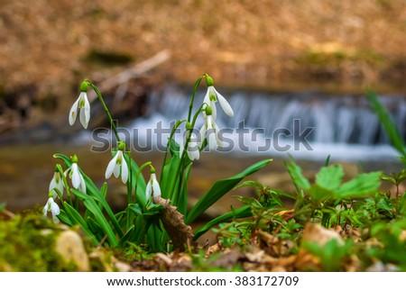 small white snowdrop bush on a river coast - stock photo