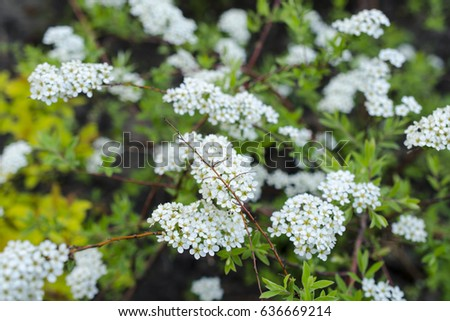 Small white spring flowers stock photo royalty free 636669214 small white spring flowers mightylinksfo