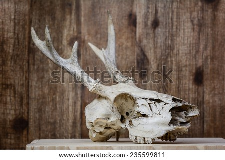 Small White tail deer skull with antlers - stock photo