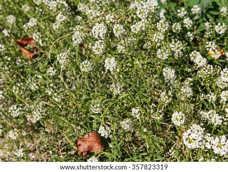 Small white wild flowers growing on the meadow. Nature - stock photo