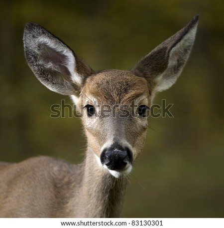 small whitetail buck with its first set of antlers coming in