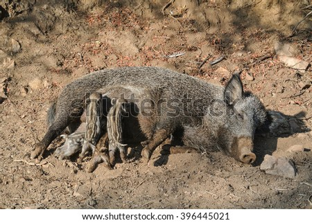 Small wild boars sucking milk from their mother