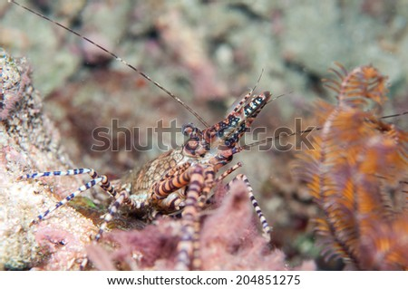 Small Wild Lobster hide in coral reef. - stock photo