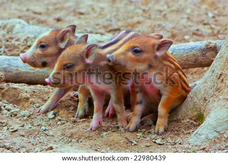 small wild pig - stock photo