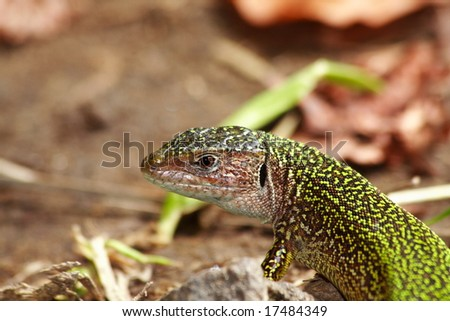 small wildlife lizard in the forest - head detail