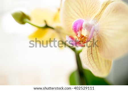 Small yellow and pink orchidea flowers close up macro details with blurred homogenous background - stock photo
