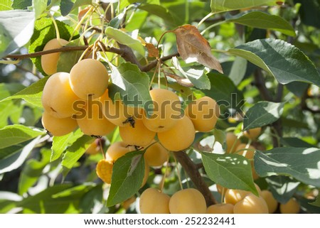 Small, yellow apples on a tree of paradise - stock photo