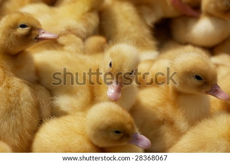 Small yellow baby ducklings