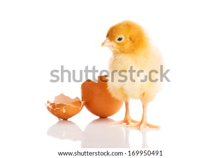 Small yellow chick with egg. Isolated on white. - stock photo