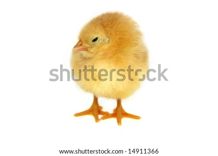 small yellow chicken isolated on white