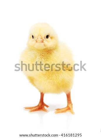 Small yellow chicken isolated on white background