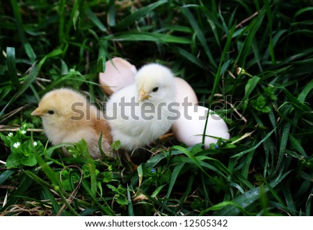 small yellow chicken with shell on herb