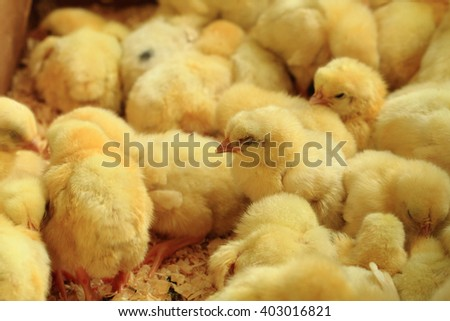 small yellow chickens as very nice animal background - stock photo