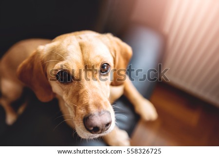 Small yellow dog sitting on black sofa