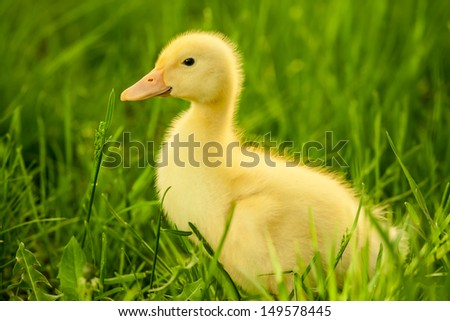 Small yellow duckling outdoor on green grass - stock photo