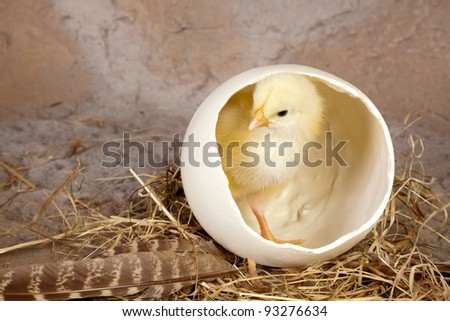 Small yellow easter chick in a big ostrich egg - stock photo